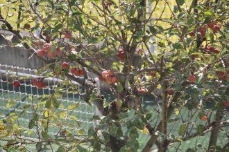 西園庭のりんご