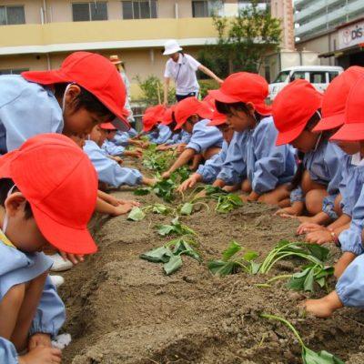 さつま芋の苗植え(年中・年長)