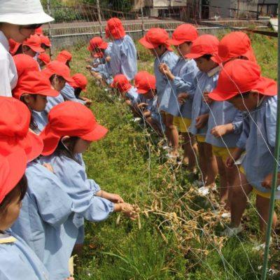 えんどう豆収穫(年長・年中)