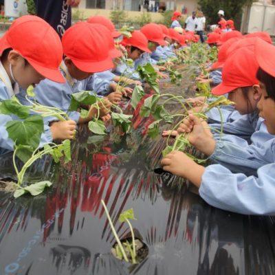 さつま芋苗植え(年中・年長)
