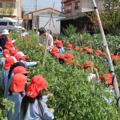 えんどう豆収穫