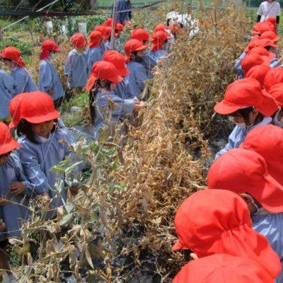 えんどう豆収穫(年中)