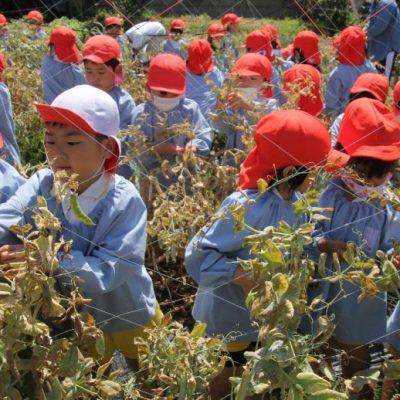 えんどう豆収穫(年長・年少)