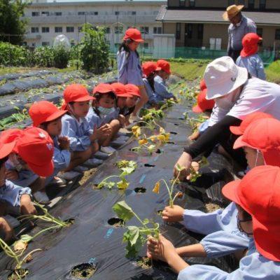 芋の苗植え(年中・年長)