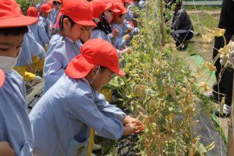 えんどう豆の収穫